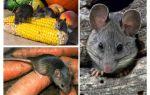 Hoe om te gaan met muizen in het land en op de site