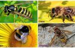 Wat is het verschil tussen wesp, bij, hommel, horzel