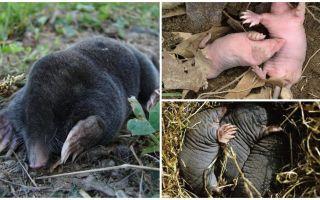 Beschrijving en foto's van pasgeboren moedervlekken