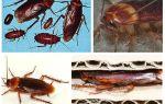 Afrikaanse kakkerlakken (Amerikaans)