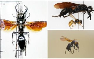 Wasp krijger