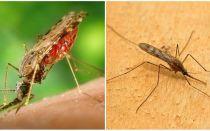 Hoe zien malariamuggen eruit en hoe gevaarlijk ze zijn voor mensen