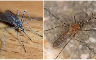Beschrijving en foto's van muggensoorten
