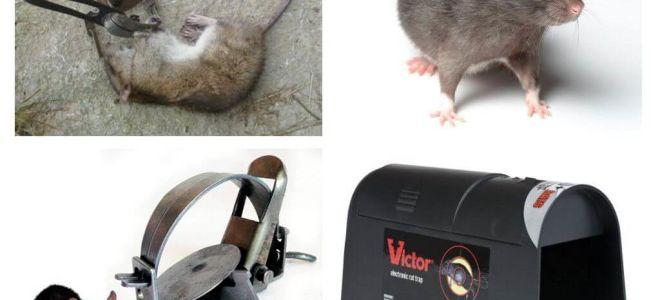 Vallen voor ratten