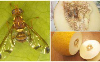 Beschrijving van een meloenvlieg en methoden om hiermee om te gaan