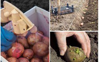 Dan voor het planten de aardappel van de Coloradokever en de draadboor verwerken