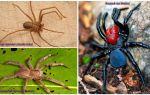 Beschrijving en foto's van de gevaarlijkste spinnen ter wereld