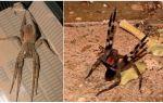 Braziliaanse zwervende spin (hardloper, zwervende soldaat)