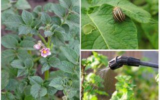 Is het mogelijk om tijdens de bloei aardappels van Colorado-kevers te verwerken?