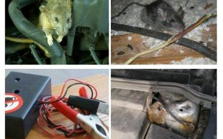 Hoe zich te ontdoen van ratten onder de motorkap van een auto