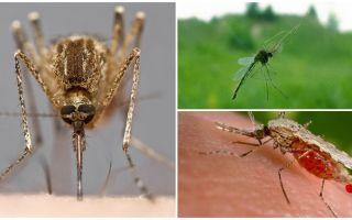 Hoe muggen zien en wat hen naar een persoon trekt