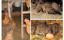 Hoe om te gaan met ratten in het kippenhok
