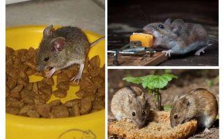 Welk aas om in een muizenval te stoppen