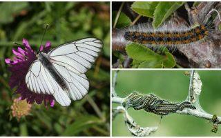 Beschrijving en foto van de rups en vlinder Haagdoorn hoe te vechten