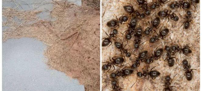 Hoe zich te ontdoen van mieren op het graf
