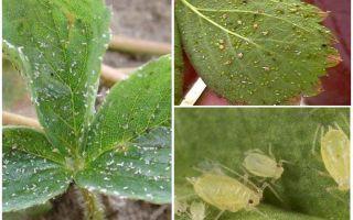 Methoden om bladluizen op aardbeien te behandelen
