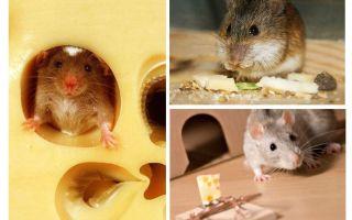 Muizen eten kaas of niet