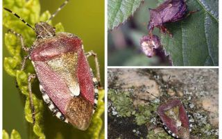 Berry-bugs