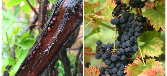 Hoe zich te ontdoen van druiven op druiven