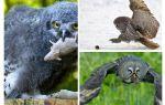 Een uil doodt ongeveer 1000 veldmuizen gedurende de zomer