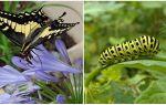 Een rups veranderen in een vlinder