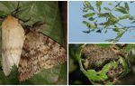 Beschrijving en foto van de rups van de Gypsy Moth