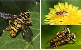 Wasp vliegt als een wesp