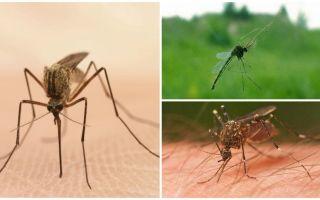 Interessante feiten over muggen