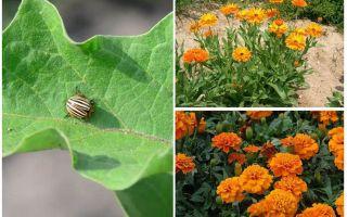 Hoe aubergines te beschermen en te beschermen tegen de coloradokever