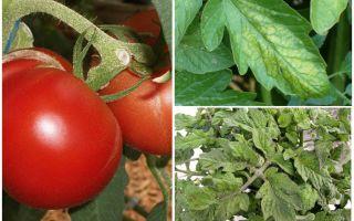 Bladluizen op tomaten - wat te verwerken en te bestrijden