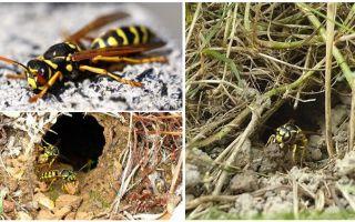 Hoe te vernietigen aarden wespen en wespennesten in de grond