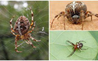 Crusader Spider Beschrijving en foto's