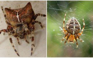 Spider jog: foto en effecten na een hapje