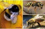 Verschillen van wesp, bij en hommel