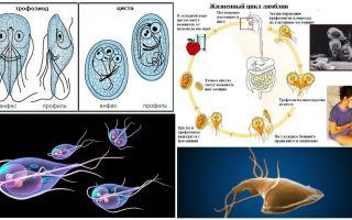 Levenscyclus van Giardia en behandeling van cysten