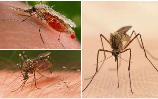 Hoeveel muggen heb je nodig om al het bloed te drinken
