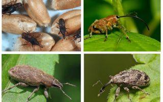 Keverkever en zijn larven
