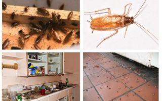 Wat te doen als je een kakkerlak in de keuken zag