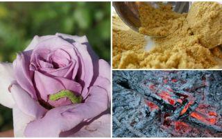 Hoe rozen te spuiten van rupsen en bladluizen