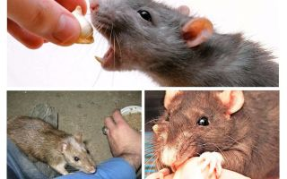 Wat te doen als een rat beet