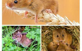 Waar leven muizen?
