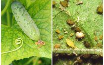Wat en hoe om te gaan met bladluizen op komkommers in kassen en open veld
