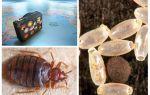 Waarom zijn wandluizen besmet in een appartement of huis