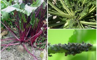 Hoe zich te ontdoen van bladluizen op bieten