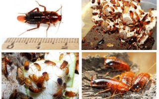 Functies die Turkmen kakkerlakken fokken