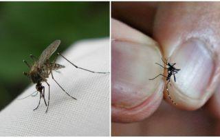 Hoe te kweken en hoeveel muggen leven