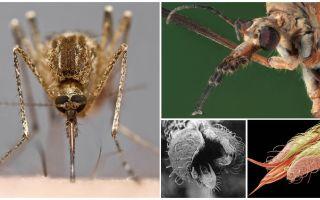 Heeft muggen gebit?