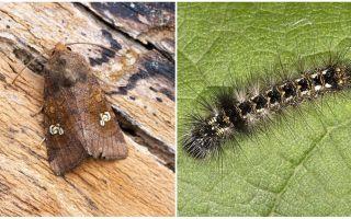 Beschrijving en foto van vlinders en rupsen schept hoe te vechten