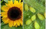 Hoe om te gaan met bladluizen op zonnebloem