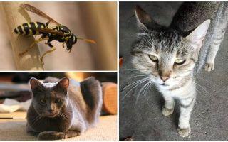Wat als een kat of kat werd gebeten door een wesp